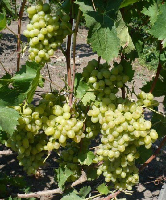 Крепкие стебли гибридного винограда Монарх и крупные грозди со спелыми ягодами