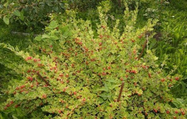 Взрослый куст крыжовника сорта Консул на приусадебном участке в середине лета