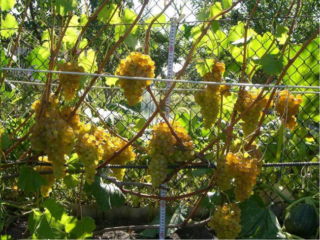 Куст винограда венгерского сорта Кишмиш 342 со спелыми гроздьями чуть поджаренных солнцем ягод