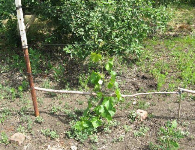 Молодой кустик винограда с зелеными побегами и импровизированная шпалера из трубы и палки