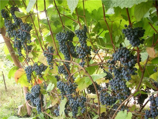 Ветки Амурского винограда на проволочной шпалере и грозди спелых ягод