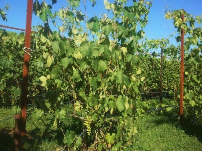 Куст винограда второго года жизни на шпалере и сигнальная кисть