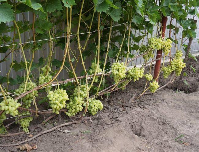 Кусты винограда столового сорта на шпалере и гроздья созревающих плодов