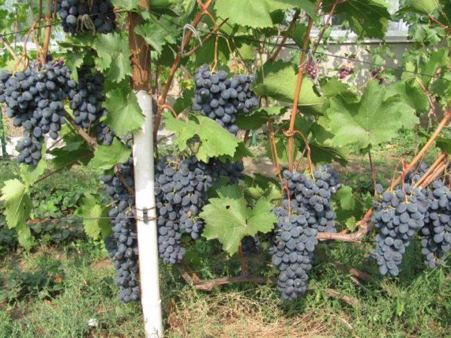 Куст винограда с крупными гроздьями и металлическая труба шпалеры