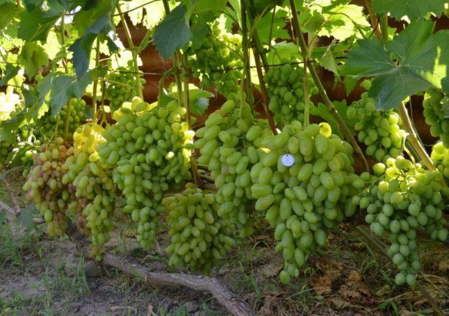 Куст винограда Юбилей Новочеркасска с крупными гроздьями и ветками, растущими по шпалере
