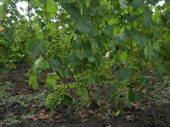 Куст винограда столового сорта Рошфор в возрасте пяти лет и грозди с зелеными ягодами