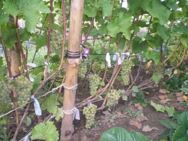 Виноградная лоза сорта Платовский на проволоке между бамбуковыми столбами