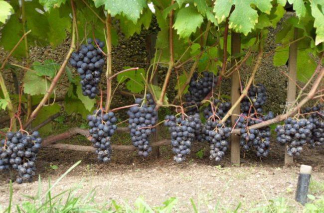 Кисти винограда Восторг Черный с синими ягодами на толстых ветках, сорт выращивается на проволочных шпалерах