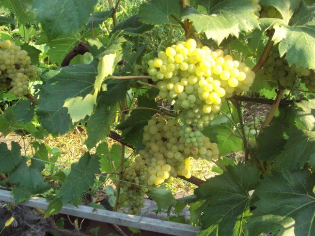 Виноградная лоза сорта Кишмиш 342 в начале периода созревания ягод