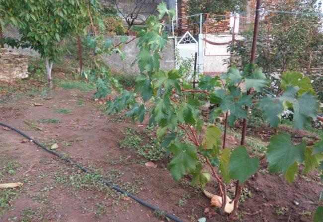 Молодой куст винограда с однолетними побегами и поливочный шланг на земле