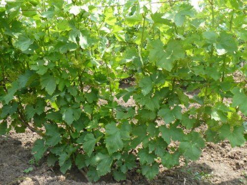Куст винограда на шпалере в начале лета, сорт Кардинал калифорнийский