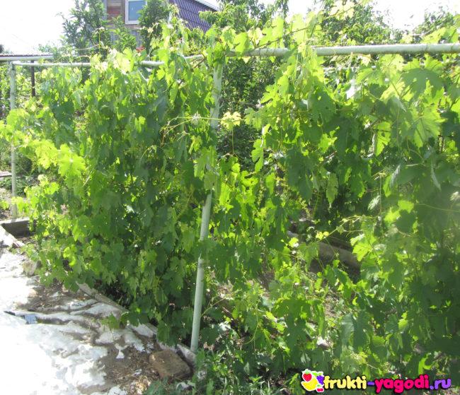 Кусты винограда Алешенька в начале лета