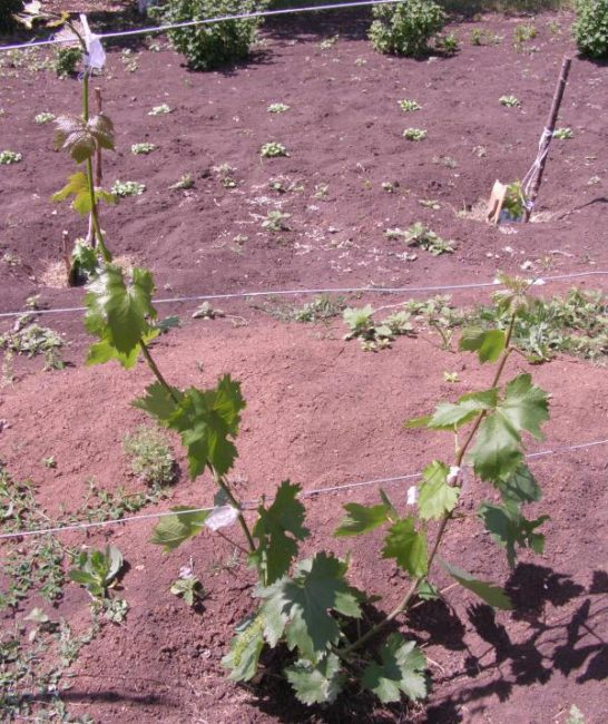 Подвязка и формирование виноградной лозы в первый год жизни