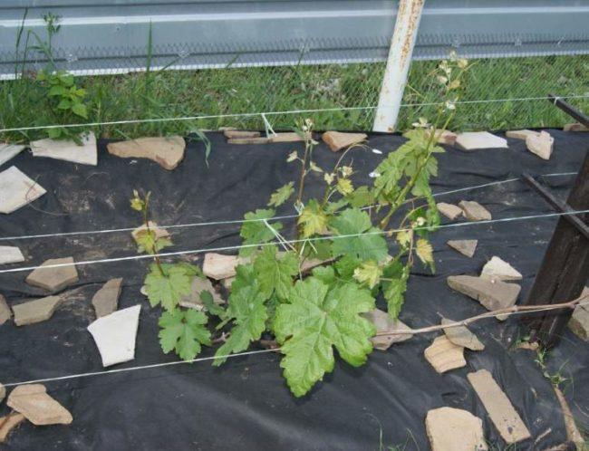 Черный нетканый материал а поверхности земли вокруг молодого куста винограда