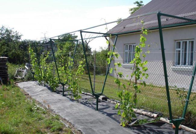 Самодельные однорядные шпалеры с виноградными кустами, посаженными с интервалом в три метра