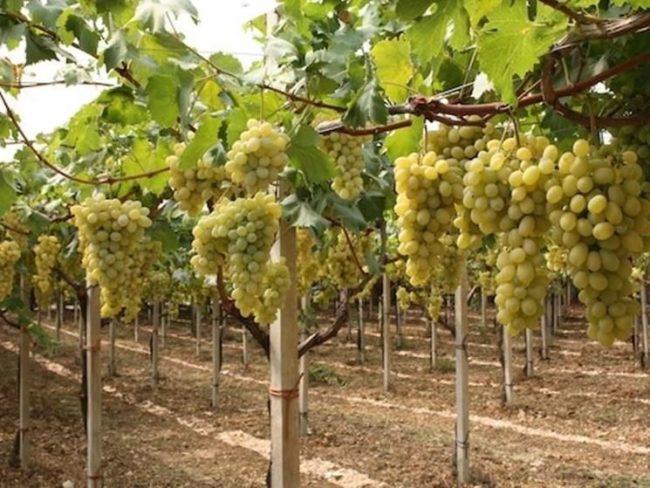 Крупные кисти винограда подпёртые шпалерами