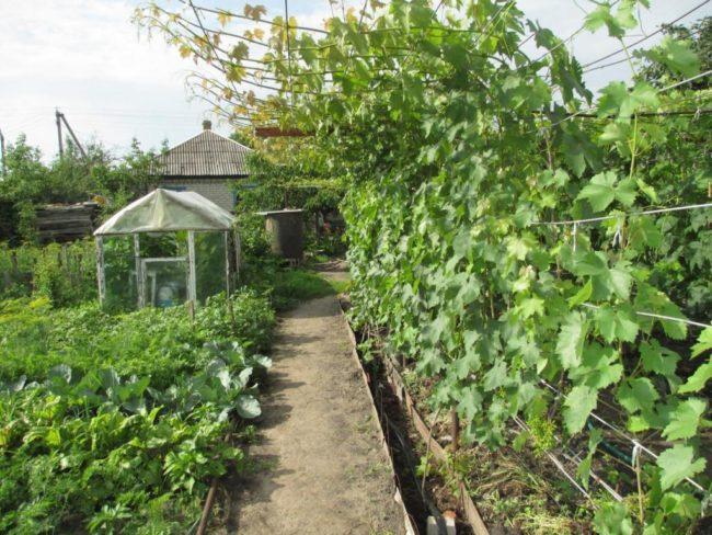 Шпалера с виноградной лозой вдоль садовой тропинки и небольшая тепличка на дальнем плане