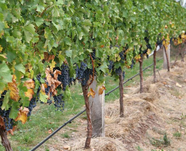 Кусты винограда с гроздями растут на земле
