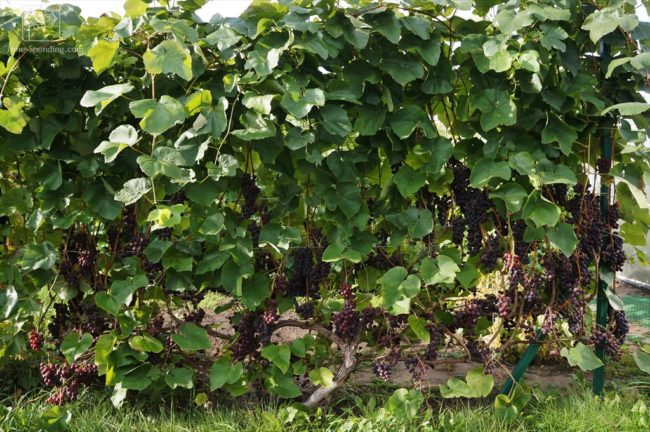 Плотная зеленая стена из кустов взрослого винограда на шпалере