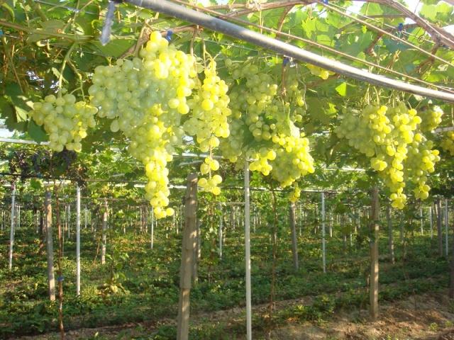 Грозди спелого винограда Супер Экстра на ветках, привязанных к шпалерам из металлических труб