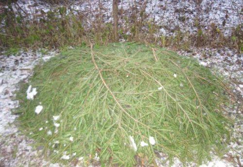 Зимнее укрытие виноградной лозы под еловыми ветками для защиты от морозов и грызунов
