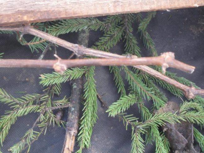 Ветки обрезанной виноградной лозы и еловый лапник в зимнем укрытие