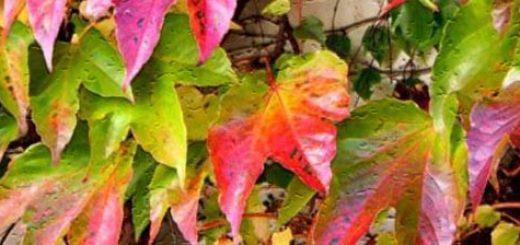 Яркие листья винограда сорта Амурский вблизи
