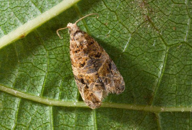 Бабочка листовертки виноградной с внутренней стороны листа, вид крупным планом