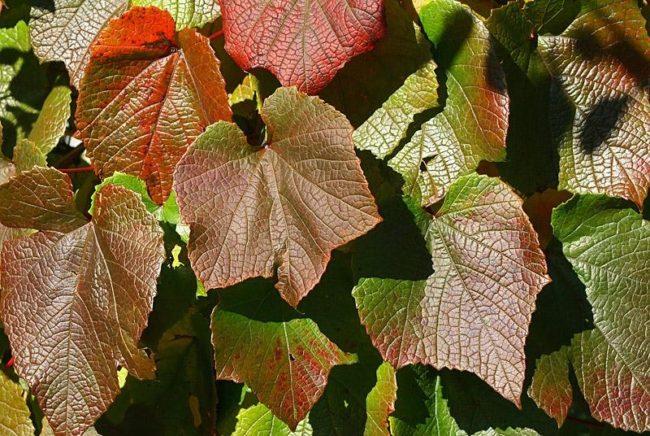Красивые листья винограда Амурского коричнево-бардового цвета