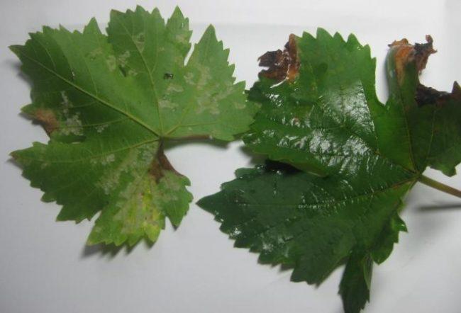 Два листа винограда с пятнами, характерными для ложной мучнистой росы