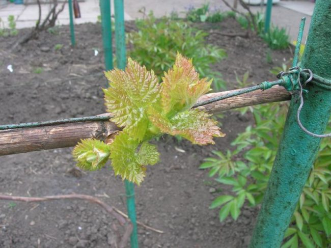 Ветка винограда с распускающимися листьями и металлическая труба шпалеры с натянутой проволокой