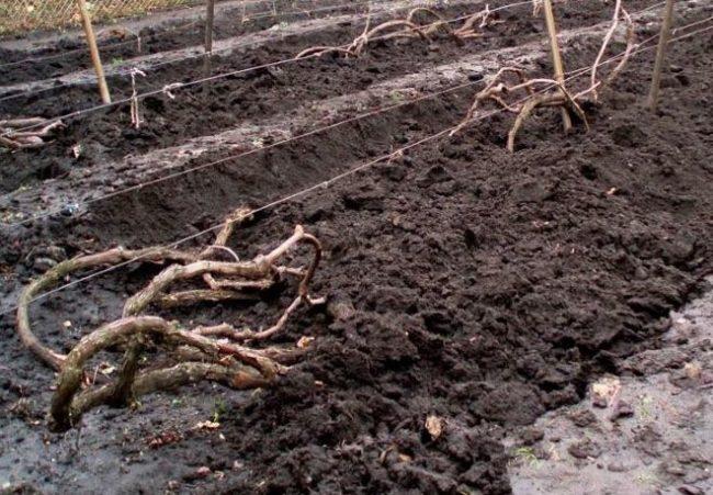 Ветки винограда, пригнутые к поверхности земли и присыпанные толстым слоем грунта