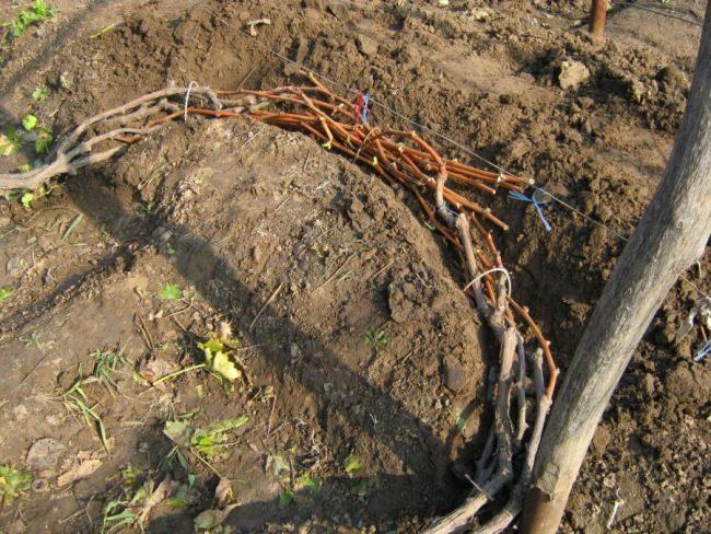 Ветки винограда в неглубокой траншее, связанные в пучок и пришпиленные проволокой к земле