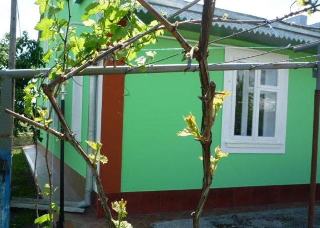 Виноградная лоза на шпалере ранней весной, распускание почек на трех и двухлетних побегах
