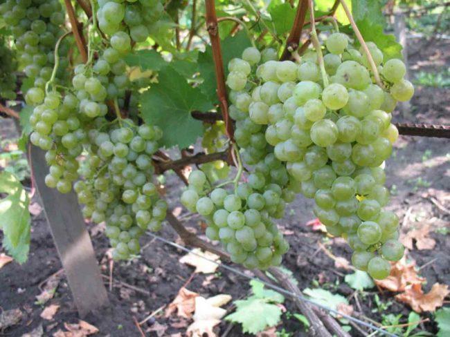 Виноградная лоза на шпалере с гроздьями зеленых ягод с оливковым оттенком