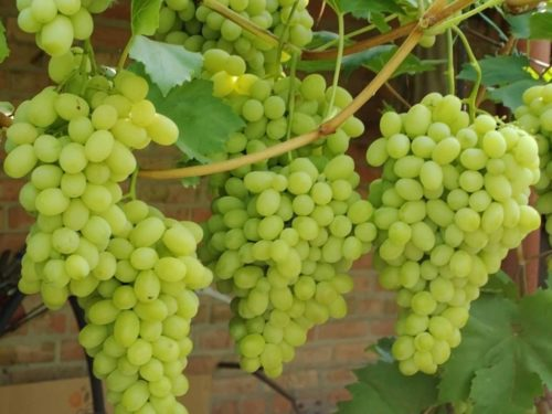 много гроздей зелёного винограда висят на ветке