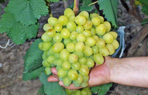 Человек держит в руке крупную ветку зелёного винограда
