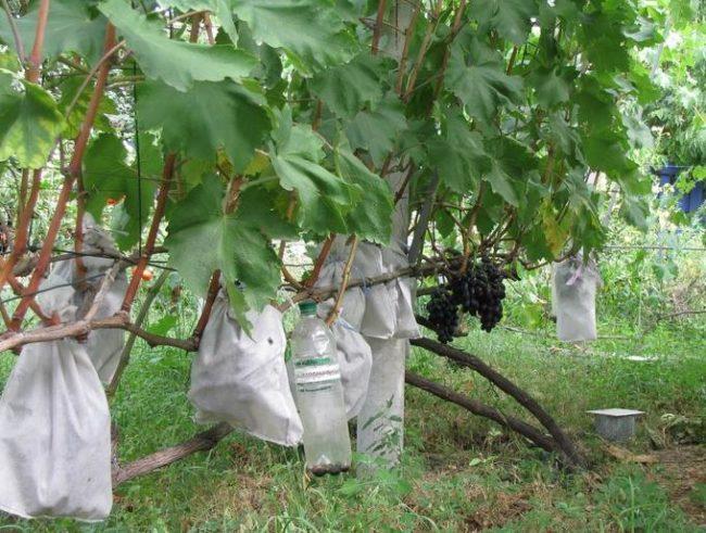 Виноградная лоза и грозди в белых мешочках из нетканого материала