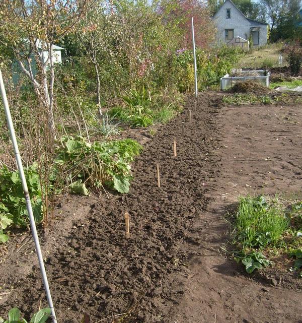 Разметка и перекопка участка для посадки винограда сорта Черный Восторг