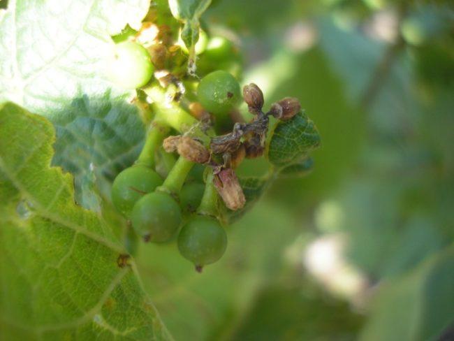 Поражённые заболеванием ягоды винограда