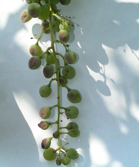 Гроздь винограда на фоне белого листа бумаги с признаками поражения мучнистой росой