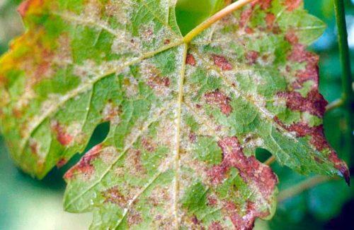 Поражённые заболеванием листья винограда