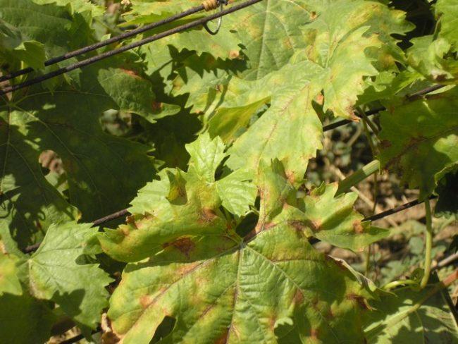 Виноградные листья с коричневыми и желтыми пятнами, появившимися вследствие заражения грибком милдью