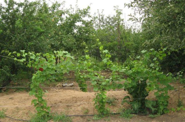 Молодой куст винограда на временной шпалере и плодовые деревья на заднем плане