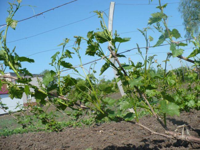 Молодые побеги винограда, привязанные к проволоке шпалеры