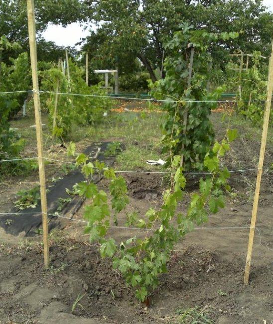Молодой куст гибридного винограда Ландыш на временной деревянной опоре