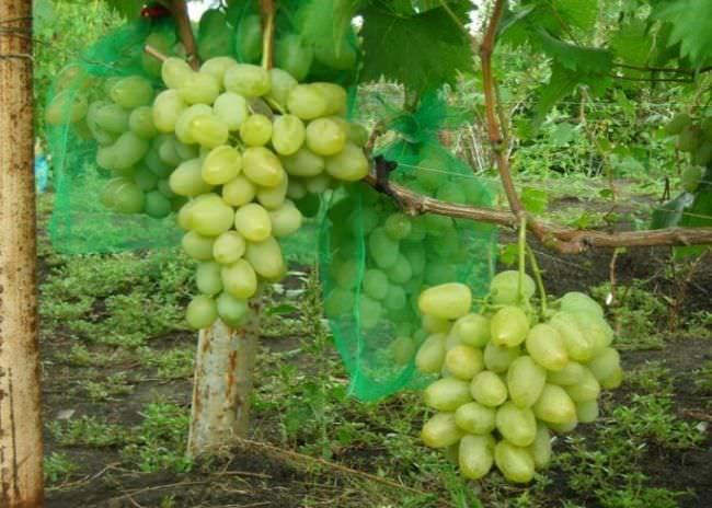 Кисти винограда гибридного сорта Монарх в защитных сетчатых мешочках