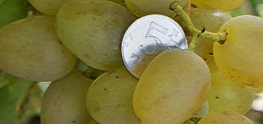Плоды винограда Монарх вблизи в сравнении с пятирублёвой монетой