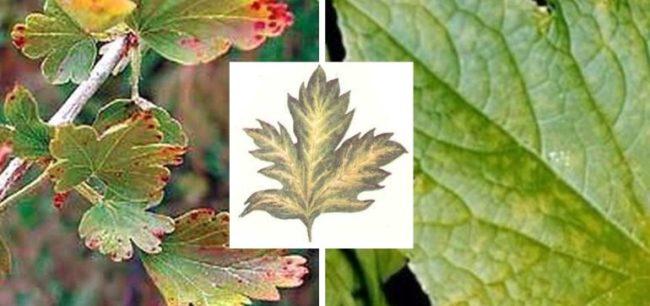Листья крыжовника с признаками проявления вирусной патологии, называемой мозаикой