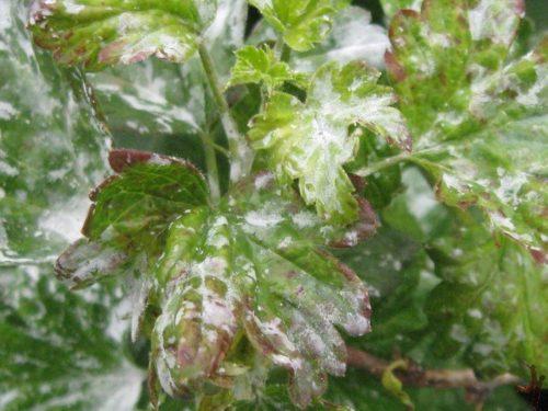 Листья крыжовника с паутинным налетом белого цвета, проявление европейской мучнистой росы